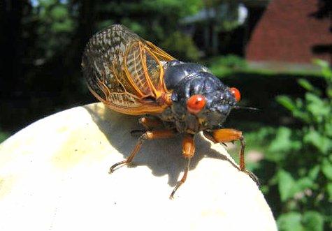 The Cicada Apocalypse