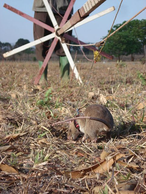 Giant African Pouched Rats Trained to Sniff Out Land Mines in Africa