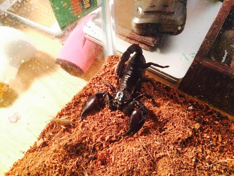Sharif the Scorpion in his new home.