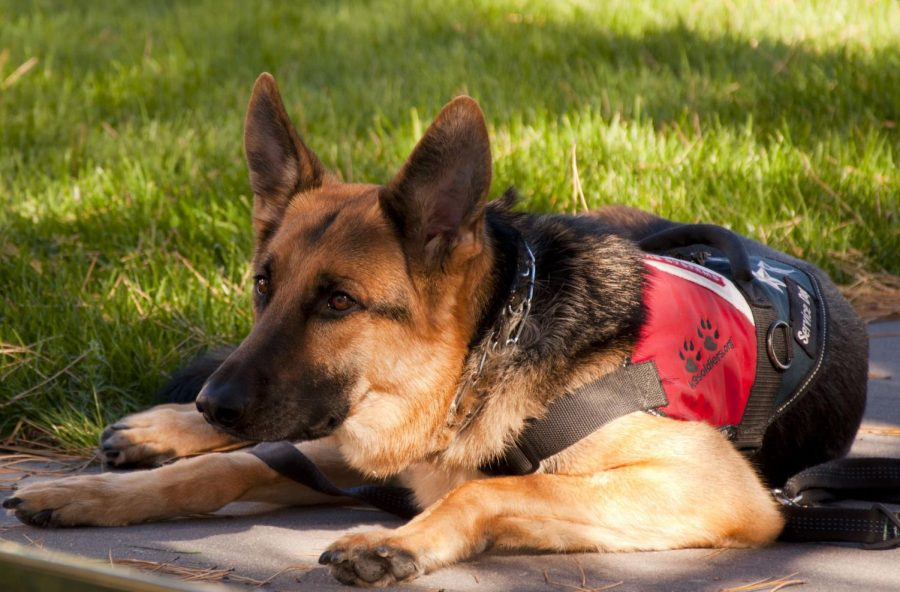 German Shepherd service dog.